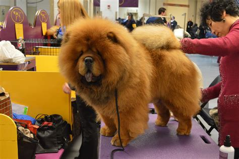 chow chow chow chow dogs 101 interesting facts and information