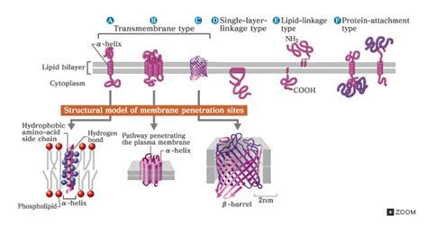 5 proteins in the cell membrane 5 2 lipids and membrane proteins in biological membranes