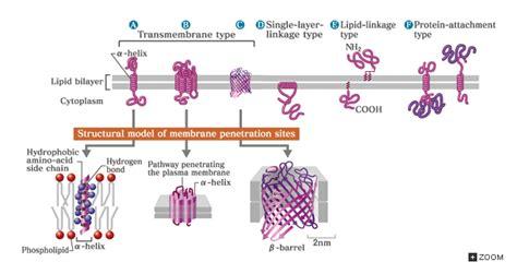 membrane proteins cell membrane proteins cell surface