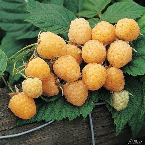 Pflanzen Bestellen 1016 by Himbeere Golden Everest Die Gelbe Kaufen Bei