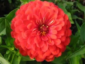 zinnia flower file zinnia avenyn jpg wikimedia commons