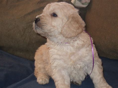 goldendoodle puppies for sale calgary teddy goldendoodle puppies for sale adoption from