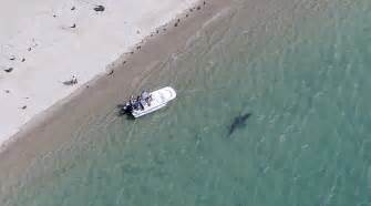 great white shark attack cape cod more great white sharks appear to be visiting cape cod