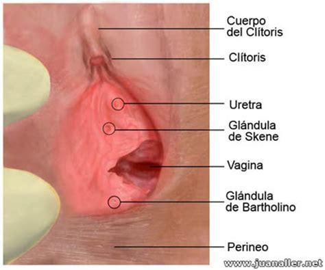 vestibulo feminino vulva y otras estructuras vestibulares
