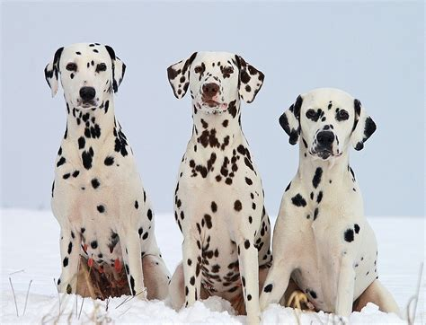 Dalmatian Shedding by Breeds Dalmatian Temperament And Personality Dogalize