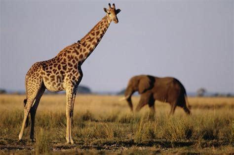 Zebra Print Wall Murals giraffe and elephant on the savanna photographic print by