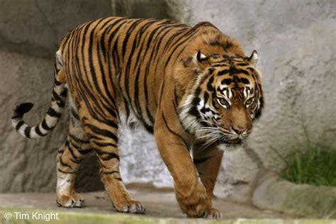 gambar wallpaper anak harimau dunia sains haiwan haiwan yang beranak