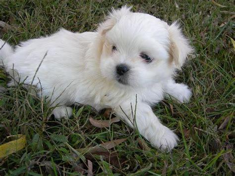 pekingese poodle lifespan 48 best peke a tese pekingese maltese images on