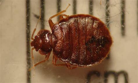 adult bed bug public health pests bed bug pacific northwest pest