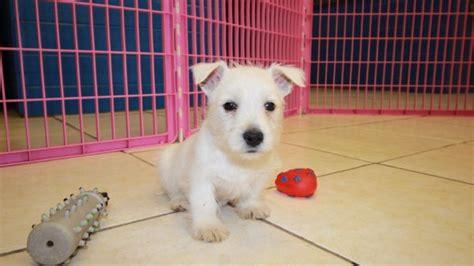 westie puppies for sale in ga sweet west highland white terrier puppies for sale in at puppies for sale