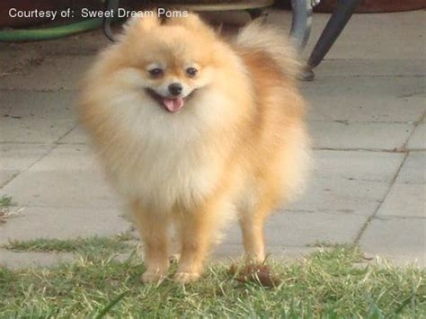 medium sized pomeranian pomeranian pictures x51ps4m5k0