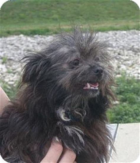 cairn shih tzu mix niles adopted huntingburg in shih tzu cairn terrier mix