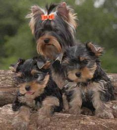 are yorkies easy to potty yorkie puppies how to potty a yorkie puppy yorkie house tips