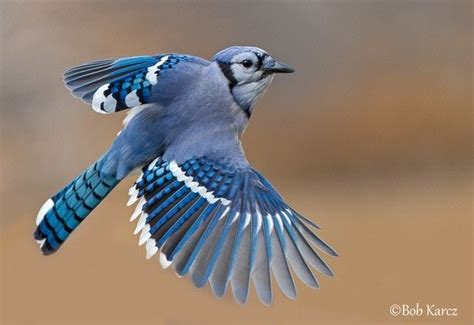 how is a bluebird different than a blue jay quora