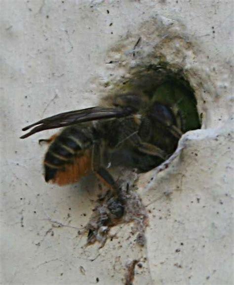 masonry bees