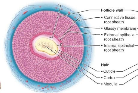 cross section of hair follicle ex7 hair hair follicles anatomy physiology 211 with