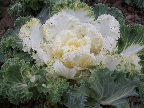 ornamental cabbage pictures ornamental cabbage free stock photo public domain pictures