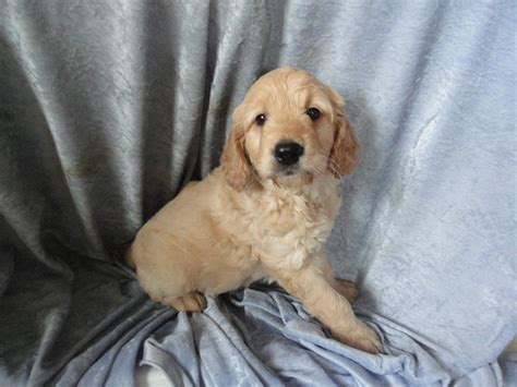goldendoodle puppy weight gain non shedding goldendoodles puppies for sale breeder wi