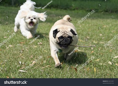 pug chasing pug with stick being chased by shi tzu stock photo 54312391