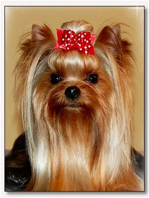 bows for yorkies yorkie bows by doggie bow ties