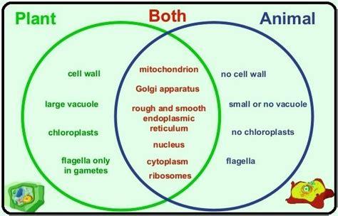animal cell and plant cell venn diagram a venn diagram on plant and animal cell 10249667 meritnation