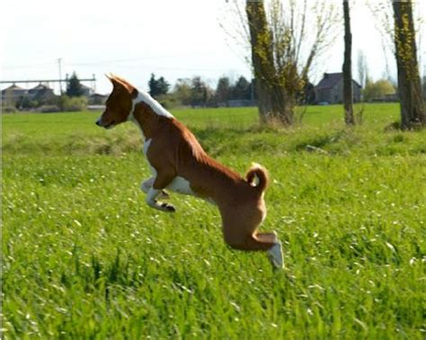 basenji puppies for sale nj 336 best images about animals dogs and puppies on puppys poodles and