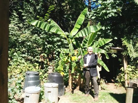 how before a banana tree bears fruit abbotsford goes bananas as plant bears fruit in summer