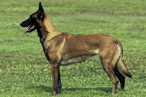 belgian dogs belgian malinois vomalmere