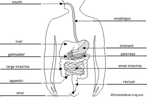 labeled digestive system diagram heidi montag fashion digestive system diagram labeled