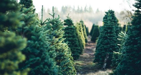 3 ways to find a real christmas tree in calgary vern