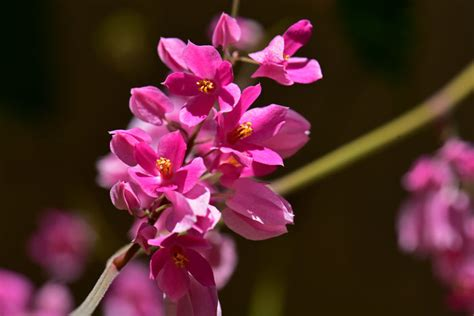 cadena de amor scientific name antigonon leptopus coral vine southwest desert flora