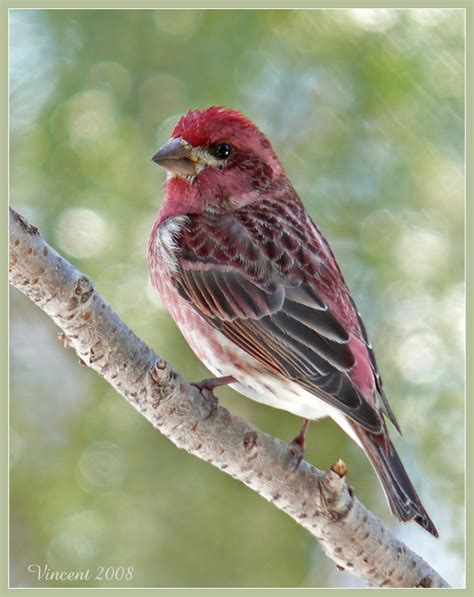 treknature purple finch photo