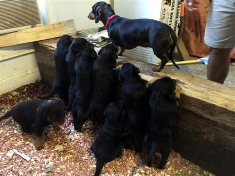 rottweiler puppies in ga rottweilers llc