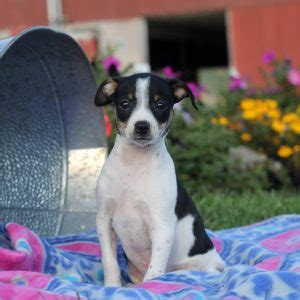 puppies for sale in nj 200 rat terrier puppies for sale in de md ny nj philly dc and baltimore