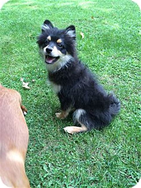 pomeranian for adoption in va richmond va pomeranian meet louis a puppy for adoption