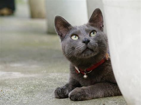 Korat Cat ? Purrfect Cat Breeds