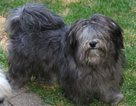 silver havanese colors colours in havanese havaneser farben info chocolate brown colour color