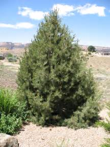 pinon pine related keywords suggestions pinon pine
