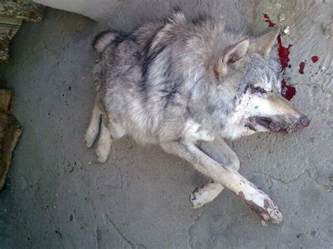 russian hunters discovered mutations  stavropol steppe wolf