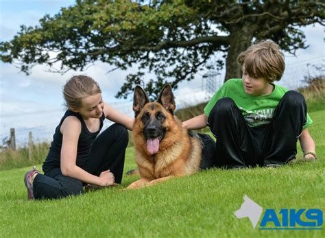 family guard dogs personal protection dogs family protection uk a1k9