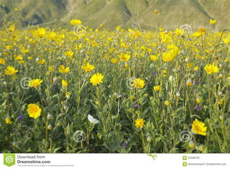 anza borrego henderson desert gold and yellow flowers near henderson road