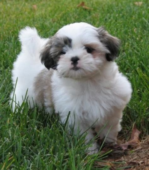 breeds like shih tzu shih tzu pictures dogbreedworld