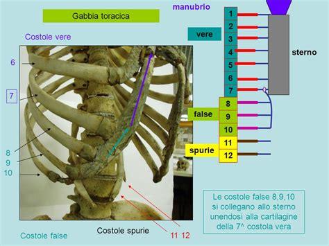 gabbia toracica costole apparato scheletrico tronco colonna vertebrale vertebre