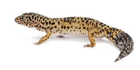 Leopard Gecko Hg F gul gecko arkivbild bild 25751242