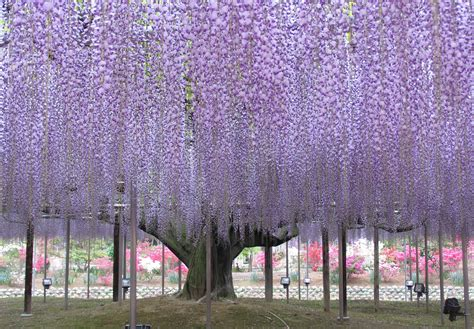 Japan Wisteria Tunnel by Giant Wisteria In Japan S Ashikaga Flower Park Pics