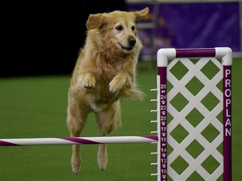westminster golden retriever 2016 the cutest pups at the westminster kennel club show abc news