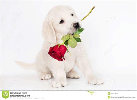 boca golden retrievers filhote de cachorro do golden retriever que guardara uma rosa em sua boca imagem de