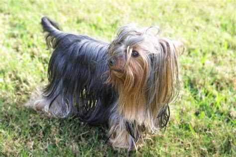 yorkie shedding 10 dogs that don t shed most popular non shedding dogs