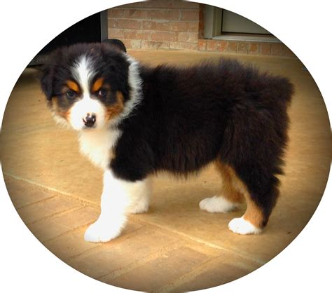 dogs for sale in arkansas puppies for sale arkansas breeder australian shepherd akc bluemerleaussies