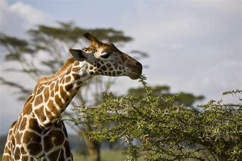 imagenes jirafas las jirafas taringa